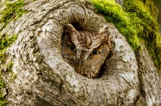 Western Screech Owl (Photo: Ken Shults, Flickr)